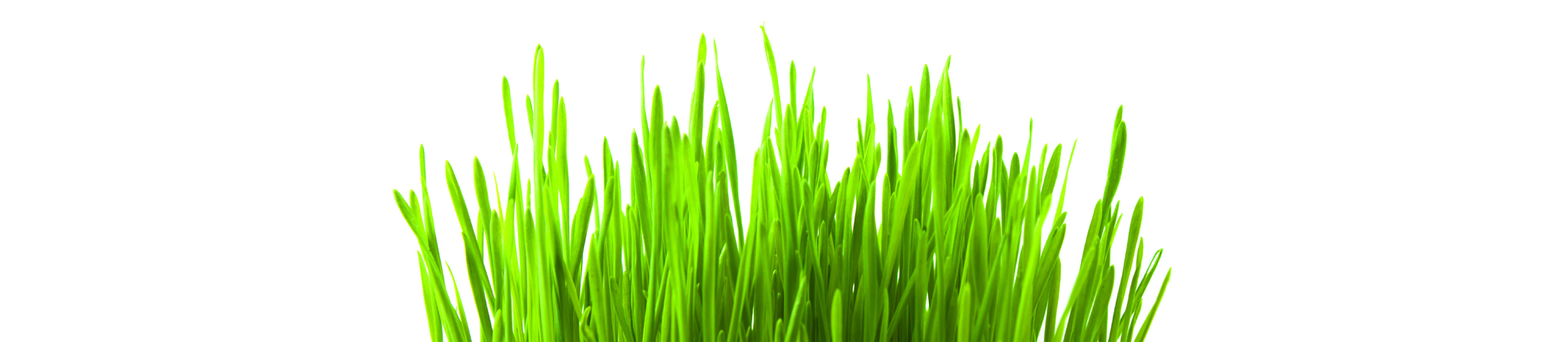 Green wheat grass on  white